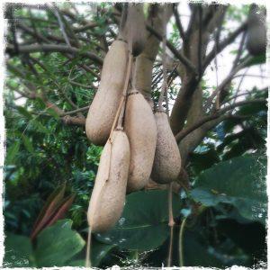 Kigali africana, sausage tree