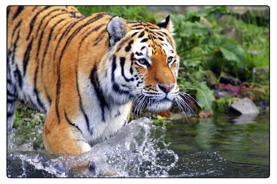 Il ritorno delle tigri imperial bulldog for Disegni delle tigri